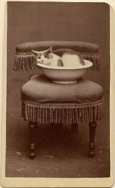 """cats never change! A cat ponders the thought of life inside a bowl. """"Well by golly gosh it twas a fancy bowl! Crazy Cat Lady, Crazy Cats, Vintage Pictures, Vintage Images, Cat Boarding, Vintage Cat, Vintage Photographs, Cool Cats, Cat Art"""