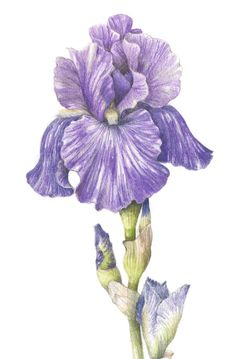 Bearded Iris - Collection of botanical illustrations of flowers by Wendy Hollender.