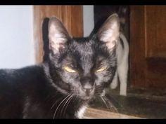 Zorro The kitten is annoyed by Black cat Bibi with rude attitude
