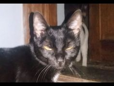 Zorro The kitten is annoyed by Black cat Bibi with rude attitude