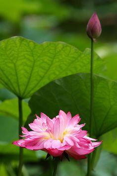lotus at noon