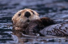 Sea otter (Enhydra lutris) resting on a kelp bed and grooming in Kachemak Bay near Homer, Alaska. Description from pixels.com. I searched for this on bing.com/images
