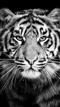 'Tiger' iPhone Case by lvsworks Majestic Animals, Animals Beautiful, Tiger Face Drawing, Tier Wallpaper, Mobile Wallpaper, Wall Wallpaper, Wild Animal Wallpaper, Tiger Sketch, Animals And Pets