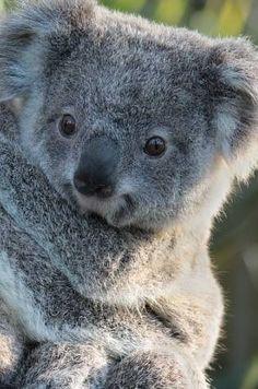 Hold a koala! Cute Koala Bear, Baby Koala, Baby Otters, Cute Funny Animals, Cute Baby Animals, Koala Marsupial, Australian Animals, Tier Fotos, Wombat