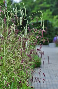 Three Dogs in a Garden: A Garden by Acclaimed Landscape Designer Piet Oudolf Landscape Design, Garden Design, Plant Projects, Garden Inspiration, Garden Ideas, Purple Garden, Perfect Plants, Public Garden, Ornamental Grasses