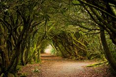 Rhodedendron Tree Tunnel, Wales