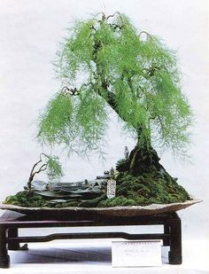 ancient Japanese art of Bonsai creates a miniature version of a fully grown tree through careful potting, pruning and training. Even if you're not zen enough to labour over your own Bonsai,.