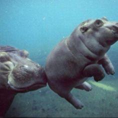 Mama hippo teaching her baby to swim.