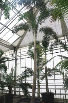Wodyetia Bifurcata (Fishtail Palm)