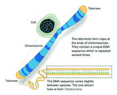 There is some indication that when a telomere becomes very short, the cell perceives it as a break in the DNA and the cell dies to protect the proliferation of incorrect genetic information. As well, short telomeres have been linked to such health risks as cancer, dementia, strokes, arthritis, diabetes etc.  To escape death, cancerous cells that replicate more often, are able to activate an enzyme called 'telomerase' that can lengthen the telomeres so they can continue to grow.