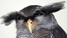 The eagle owls are the largest of owls but within that group the barred eagle…