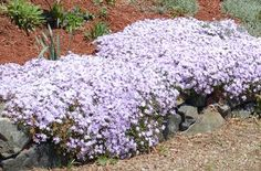 """Creeping plants are often called """"creepers."""" Learn what that means, discover examples, and read about their possible landscape uses. Inexpensive Landscaping, Natural Landscaping, Small Backyard Landscaping, Landscaping Plants, Landscaping Ideas, Arizona Landscaping, Landscaping Edging, Mailbox Landscaping, Phlox Plant"""