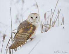 }{     Barn owl