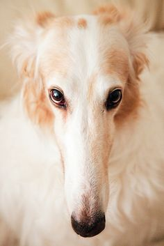 Beautiful borzoi
