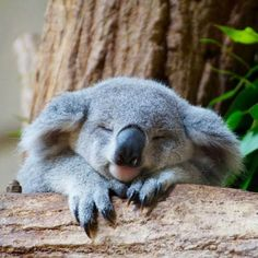 Koala is one of the laziest animals in the world, and there is only koala in Australia. The sleeping time for a koala is approximately 20 hours or even more every day​. Cute Baby Animals, Animals And Pets, Funny Animals, Wild Animals, Funny Koala, Smiling Animals, Sleepy Animals, Nature Animals, Zoo Animals