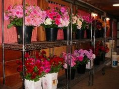 A typical wedding flower pick up day at The Dahlia Barn.  The barn is filled with buckets and buckets of fresh cut dahlias !!