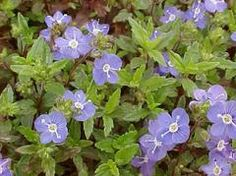 *** Veronica peduncularis 'Georgia Blue' - Speedwell- ground cover - Plant Finder