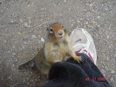 Ground squirrels in banff are really friendly ;) - Imgur