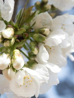 cerisier en fleurs by valerietedesco
