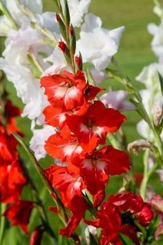 This is a guide about growing gladiolus. Gladiolus are a popular summer flowering bulb. They make a dramatic statement in your garden with their tall spike of lovely flowers in many colors. There are some important factors to keep in mind when growing these beauties.