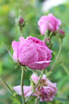 Unidentified pink rose in an Italian garden