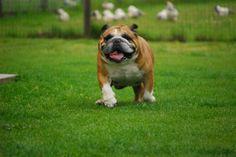 Deze hond vind ik ook heel leuk en grappig ! Een Engelse bulldog heet hij.