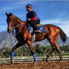 American Pharaoh Racehorse   American Pharoah is looking awfully nice. WINS BREEDERS' CUP 10-31-2015!!!!!!