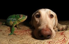 Chameleon and Lab by scott cromwell, via Flickr