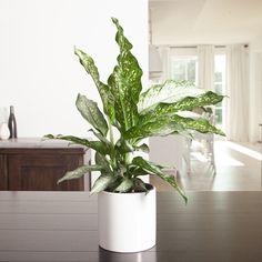 The Dumb Cane Tiki  boasts large green leaves speckled with cream accents. This easy-care plant is very adaptable and can easily thrive in most homes. Easy Care Plants, Plant Sale, Low Lights, Potted Plants, Green Leaves, Houseplants, Dumb And Dumber, White Ceramics, Canning