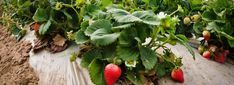 Tomato Growing Companion Companion plants for strawberries - Bush beans and asparagus help strawberries grow, but okra and mint can kill them. Our farmer gives her list of ideal companion plants and plants to avoid. Container Vegetables, Planting Vegetables, Growing Vegetables, Container Gardening, Gardening Tips, Growing Strawberries In Containers, Growing Tomatoes In Containers, Grow Strawberries, Strawberry Bush