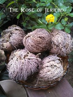 White Magick Alchemy - Rose of Jericho . Money, Success, Wishes, Blessings, $4.95 (http://www.whitemagickalchemy.com/rose-of-jericho-money-success-wishes-blessings/)