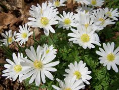 Anemone blanda in Jackie's spring garden in Michigan--click through to see more of this garden.