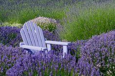 Purple Haze Lavender Farm in Sequim, Washington--15 minutes from my home