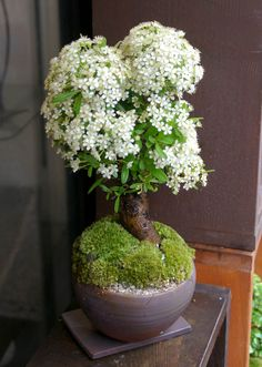 Japanese Bonsai... White Blooming / Beautiful Looking