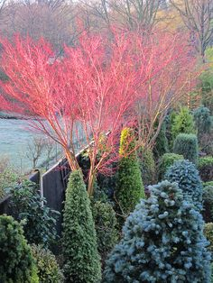 This Acer palmatum 'Sango-kaku' has been selectively pruned to become a small standard tree. The stems of acer Sango-kaku (acer senkaki) become red in winter and are always a delight to see. The red of the stems is intensified by moisture and by sunlight. Winter Garden, Garden Landscape Design, Garden Trees, Plants, Conifers Garden, Garden Types, Japanese Garden, Coral Bark Maple, Landscaping Plants