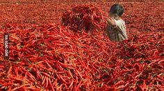 A Sriracha chili pepper harvest