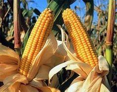 #CapitalismoAlimentario #PatenteSemillas | El maíz desafía al cambio climático