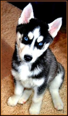Beautiful Siberian Husky puppy
