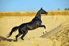 Post with 8 votes and 1199 views. Tagged with animals, pics, horse, beautiful; Tokhtamysh, the Akhal-Teke stallion Most Beautiful Horses, All The Pretty Horses, Rare Horse Breeds, Akhal Teke Horses, Thoroughbred Horse, Rare Horses, Golden Horse, Horse Names, Black Horses