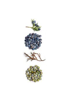 juniper | STILL (mary jo hoffman) Gin Juniper, Juniper Berry, Juniperus Communis, Apple Wallpaper, Hiccup, Medicinal Plants, Botanical Illustration, Food Photography, Beautiful Gardens