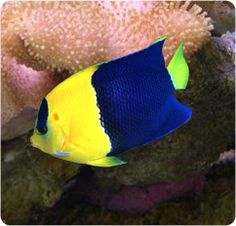 Bicolor Angelfish, Two Colored Angelfish - Centropyge bicolor