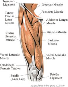 Thigh Anatomy Muscles Anterior