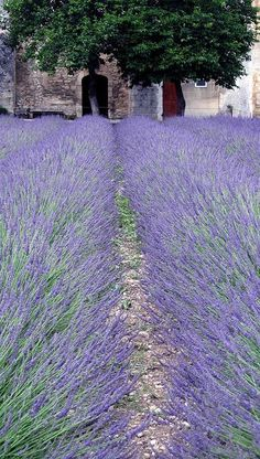 Provence ~ France I want to live here in all the lovely lavender :) Beautiful Gardens, Beautiful Flowers, Beautiful Places, Lavender Blue, Lavender Fields, Lavender Cottage, Lavender Garden, Provence France, Champs
