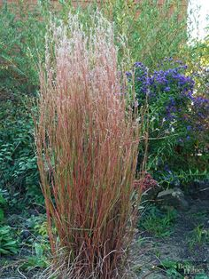 Native to the Midwestern prairie, Little Bluestem grass, Schizachyrium scoparium, thrives in hot and dry locations and makes a colorful addition to any landscape. Growing 2 to 4 feet tall, Little Bluestem forms upright clumps of handsome blue-green foliage that's topped with feathery seed heads in the late summer and fall. Zones 3-9 Seasonal Highlights: Fall: Foliage turns a brilliant bronze-orange hue. Winter: Purplish seed heads persist through the winter. Spring: Bright blue-green…