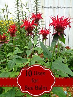 10 ways to use Bee Balm for culinary and medicinal purposes. Includes a recipe for Bee Balm Bread. Print the recipe here.