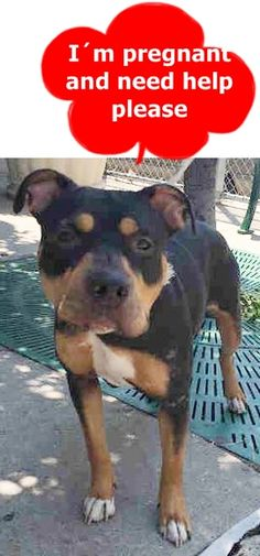 SAFE❤️❤️ 7/3/16 SUPER URGENT Brooklyn Center HENNA – A1078686 **PREGNANT** FEMALE, BLACK / TAN, ROTTWEILER / AM PIT BULL TER, 2 yrs OWNER SUR – EVALUATE, NO HOLD Reason PERS PROB Intake condition PREGNANT Intake Date 06/24/2016 http://nycdogs.urgentpodr.org/2016/06/henna-a1078686/