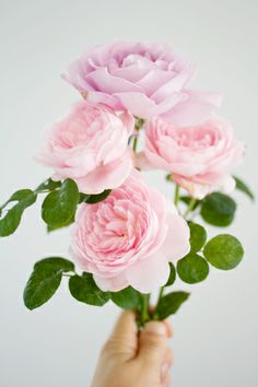 Pink roses | Photo by Annetta Bosakova
