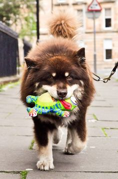 Finnish Lapphund, seriously one of the cutest dogs I have ever seen. Want one<33