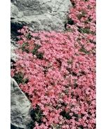 Scarlet Flame Creeping Phlox (Phlox subulata 'Scarlet Flame') - Masses of large, bright scarlet flowers with darker eye cover the top of this mat-forming creeper for a long period. Creates a carpet of color for use as a groundcover, in bank plantings or in rock gardens. Spectacular when cascading over walls. Tolerates some drought. Evergreen perennial