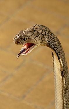 King Cobra, the world's longest venomous snake, (Ophiophagus hannah)